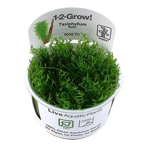 Planta acvariu Taxiphyllum 'Spiky' Moss in vitro Tropica