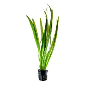 Planta acvariu Vallisneria americana 'Gigantea' Pot