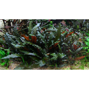 Planta naturala acvariu Cryptocorine species Red