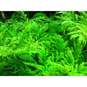 Planta naturala acvariu Hygrophila Diformis