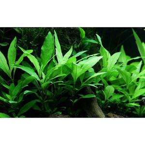 Planta acvariu Hygrophila corymbosa 'Siamensis pot Tropica