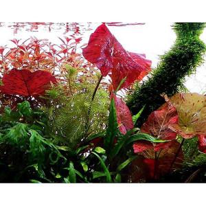 Planta acvariu Nymphaea lotus Pot Tropica
