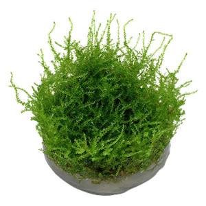 Planta muschi Vesicularia dubyana 'Christmas' Moss In vitro Tropica
