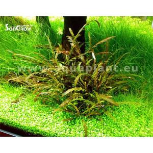 Planta naturala acvariu Hygrophila pinnatifida