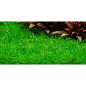 Planta acvariu Eleocharis parvula pot