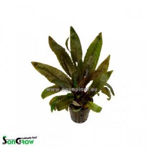 Planta naturala acvariu Cryptocoryne
