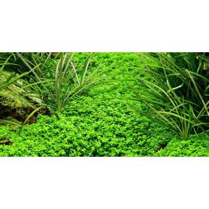 Planta acvariu Hemianthus callitrichoides 'Cuba' in Vitro Tropica
