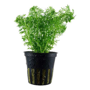Planta acvariu Limnophila sessiliflora