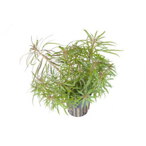 Planta acvariu Pogostemon stellata - Pot