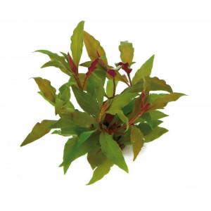 Planta naturala acvariu Alternanthera Reinecki