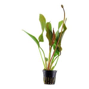 Planta acvariu Echinodorus 'Red Diamond' pot Tropica