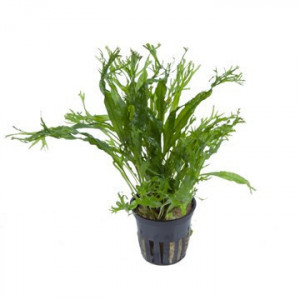 Planta acvariu Microsorum pteropus 'Windeløv'