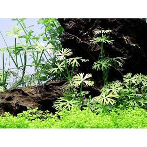 Planta acvariu Ranunculus inundatus In vitro Tropica