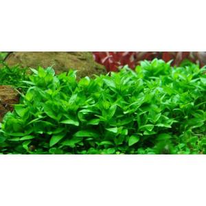Planta acvariu Staurogyne repens Pot Tropica