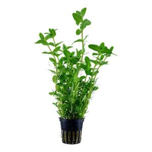 Planta naturala acvariu Bacopa caroliniana pot Tropica