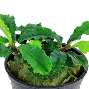 Planta acvariu Bucephalandra pygmaea 'Wavy Green' pot Tropica
