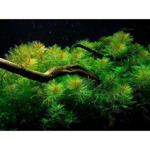Planta acvariu Myriophyllum mattogrossense pot Tropica