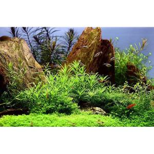 Planta acvariu Pogostemon helferi in vitro Tropica