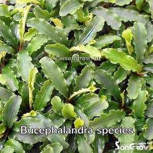Planta naturala acvariu Bucephalandra species