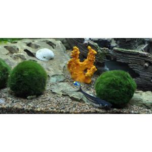 Planta acvariu Cladophora aegagropila