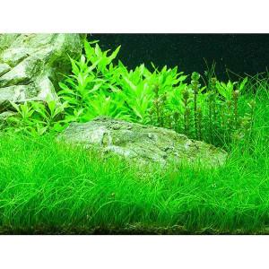 Planta acvariu Eleocharis acicularis parvula pot