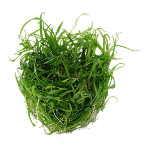 Planta acvariu Helanthium tenellum 'Green' Pot Tropica