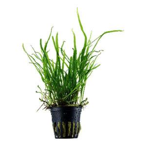 Planta acvariu Microsorum pteropus 'Trident' pot Tropica