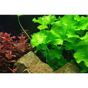 Planta acvariu Nymphoides hydrophylla 'Taiwan' in vitro Tropica