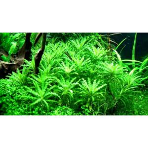 Planta acvariu Pogostemon Helferi