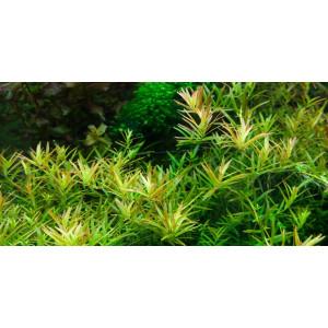 Planta acvariu Rotala 'Vietnam H'ra' in vitro Tropica