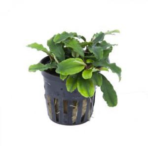 Planta acvariu Bucephalandra Wavy green