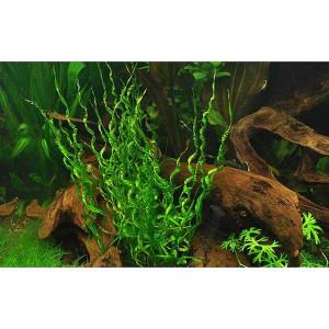 Planta acvariu Helanthium bolivianum 'Vesuvius' in vitro Tropica