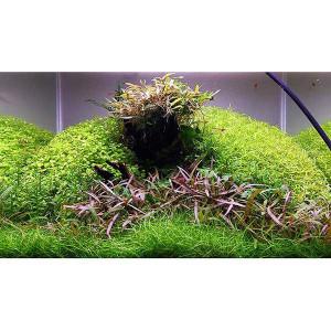 Planta acvariu Hygrophila 'Araguaia' in vitro Tropica