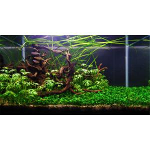 Planta acvariu Marsilea Hirsuta vitro Tropica