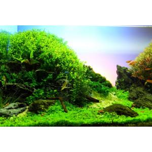 Planta acvariu Micranthemum Umbrosum