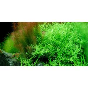 Planta acvariu Rotala green