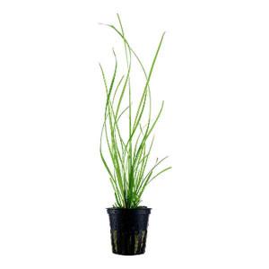Planta naturala acvariu Cyperus
