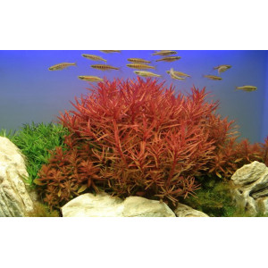 Planta naturala acvariu Nesaea crassicaulis pot Tropica