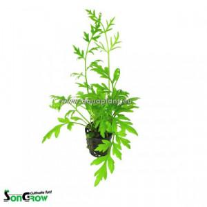Planta acvariu Ceratopteris Cornuta