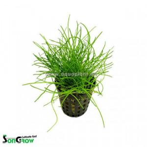 Planta acvariu Lilaeopsis Novae
