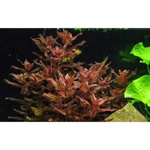 Planta acvariu Rotala macrandra in vitro Tropica