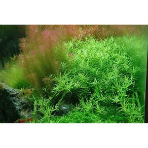 Planta acvariu Rotala rotundifolia 'Green' in vitro Tropica
