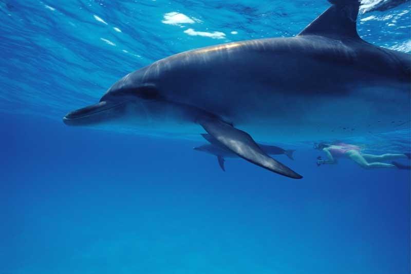 Tablou Delfin