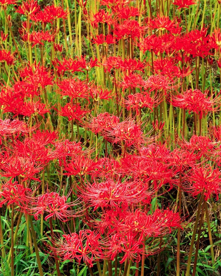 Tablou Flori Rosii