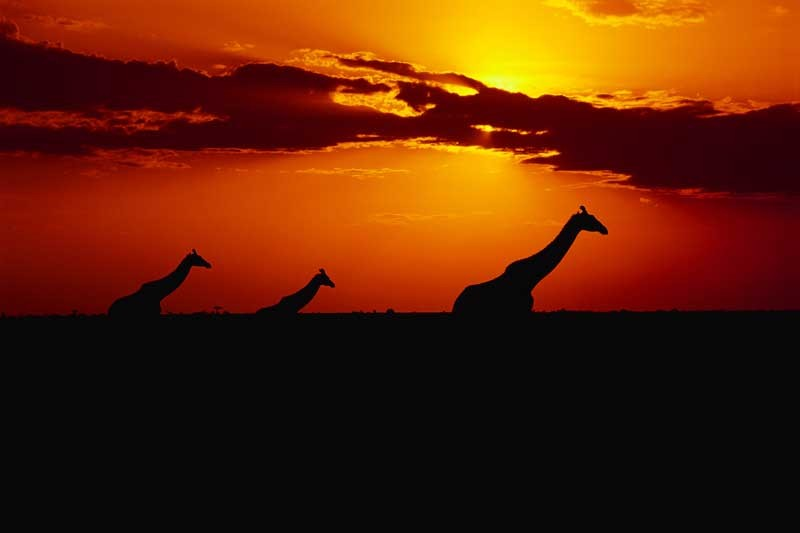Tablou Multicanvas Girafe la Apus