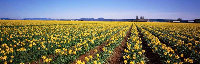 Tablou Multicanvas Narcise Galbene