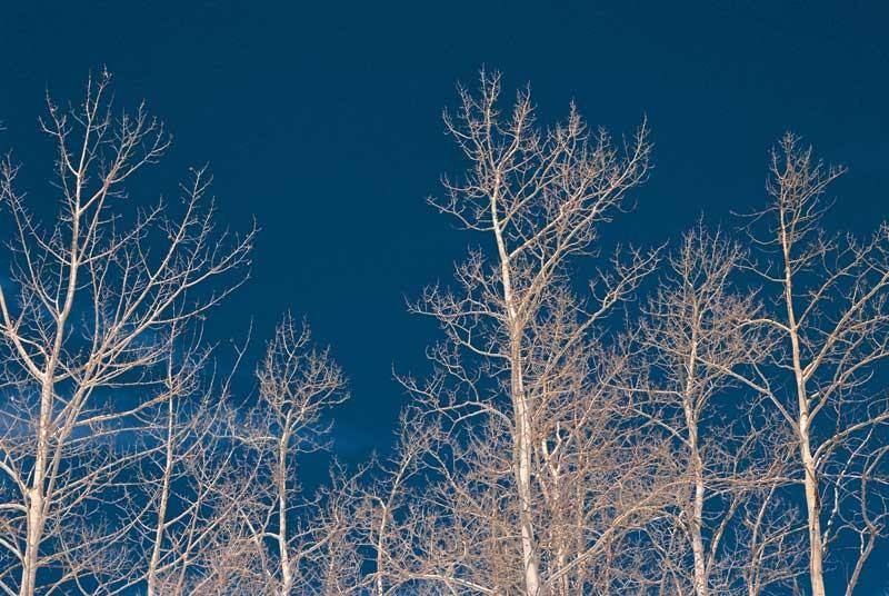 Tablou Copaci Fara Frunze
