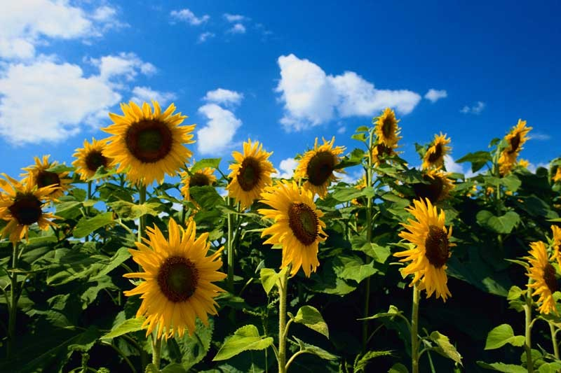 Tablou  Floarea-Soarelui