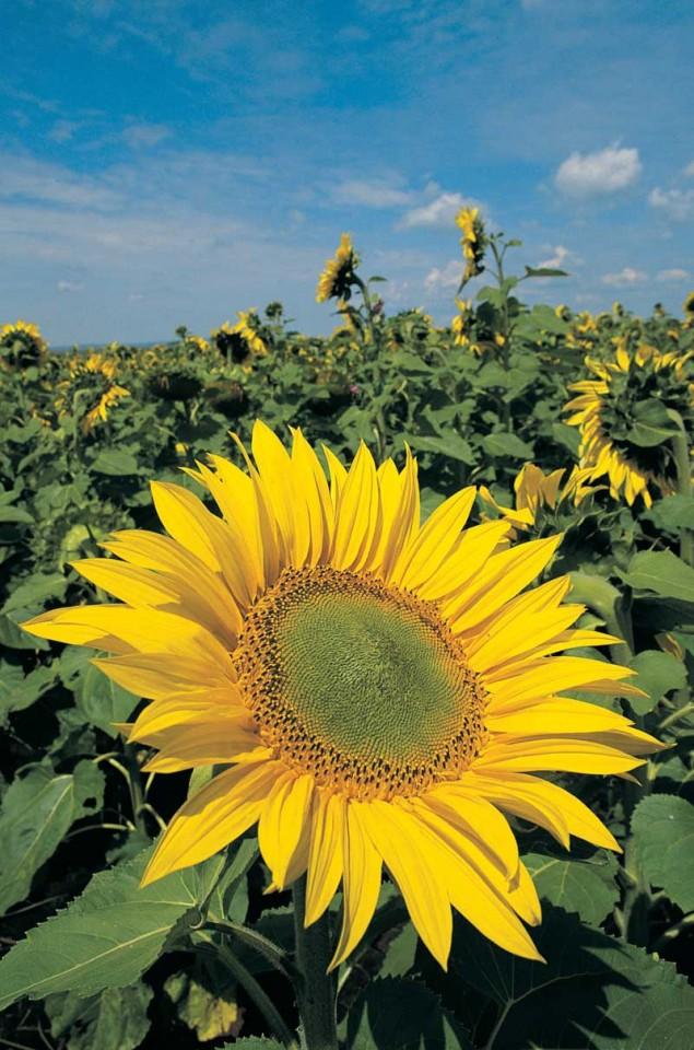 Tablou Floarea-Soarelu