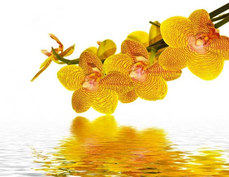 Tablou Orhidee Galbene